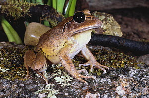 Great barred frog {Mixophyes fasciolatus} male, Coffs Harbour, New South Wales, Australia  -  Robert Valentic