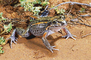 Salmon striped frog {Limnodynastes salmini} male at surface to breed after heavy rains, Brigalow habitat, Texas, Queensland, Australia  -  Robert Valentic