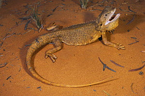 Dwarf bearded dragon lizard {Pogona minor mitchelli} threat display to frighten off predator, Derby, Western Australia - Robert Valentic