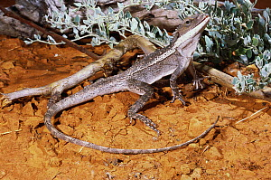 Burns' dragon lizard (Amphibolurus / Lophognathus burnsi) male prepares to fight rival male, Walgett, New South Wales, Australia - Robert Valentic