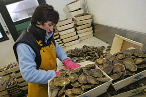 Packing oysters at La Foret-Fouesnant, Brittany, France. December 2004.  -  Benoit Stichelbaut