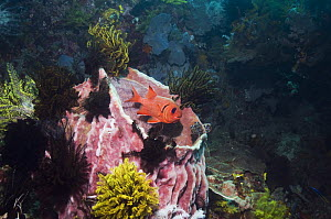 Bigscale soldierfish (Myripristis berndti) at rest on coral reef with barrel sponge and crinoids. Rinca, Indonesia  -  Georgette Douwma