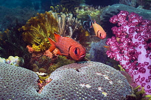 Bigscale soldierfish (Myripristis berndti) at rest on reef with soft corals and crinoids. Rinca, Indonesia.  -  Georgette Douwma