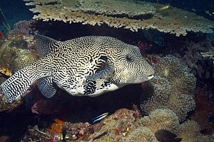 Map pufferfish (Arothron mappa) on reef with Cleaner wrasse (Labroides dimidiatus). Papua New Guinea - Georgette Douwma