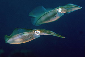 Bigfin reef squid (Sepioteuthis lessoniana) Lembeh Strait, North Sulawesi, Indonesia.  -  Georgette Douwma
