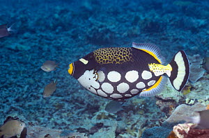 Clown triggerfish (Balistoides conspicillum) swimming over coral reef. Lembeh Strait, North Sulawesi, Indonesia  -  Georgette Douwma
