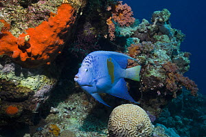 Yellowbar angelfish (Pomacanthus maculosus) on coral reef with brain coral, Egypt, Red Sea  -  Georgette Douwma