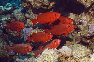 Big-eye or Goggle-eye (Priacanthus hamrur). Can change colour from deep red to silver. Egypt, Red Sea  -  Georgette Douwma