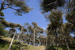 Stunted pine trees on sand dunes, Formby, Merseyside, UK  -  Jason Smalley