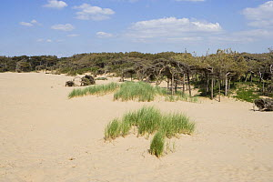 Mobile dunes with stunted pine forest and marram grass, Formby, Merseyside, UK - Jason Smalley