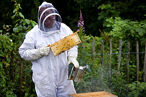 Beekeeper in full protective clothing with a comb of honey from a beehive and a smoker, UK - Jason Smalley