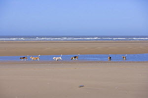 Six Basset hounds excercising on the beach, Southport, Lancashire, UK  -  Jason Smalley