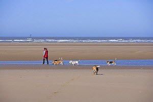 Woman excercising Basset hounds on beach, Southport, Lancashire, UK - Jason Smalley