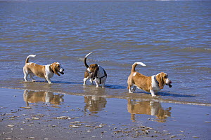 Three basset hounds excercising on the beach, Southport, Lancashire, UK  -  Jason Smalley