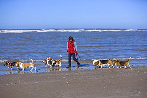 Woman excercising seven Basset hounds on beach, Southport, Lancashire, UK - Jason Smalley