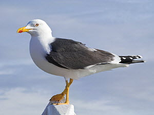 Lesser Black backed gull {Larus fuscus} perched, UK - Jason Smalley