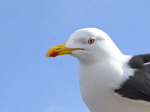 Lesser Black backed gull {Larus fuscus} UK  -  Jason Smalley