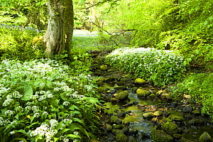 Small woodland stream with Ramsons / Wild garlic(Allium ursinum) in bloom, Lancashire, UK  -  Jason Smalley