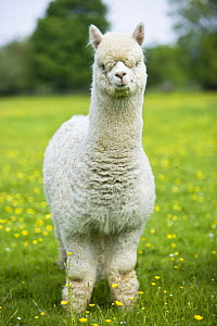 White domestic Alpaca {Lama pacos}, bred in the UK for its soft wool, UK  -  Jason Smalley