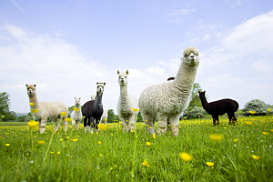 Flock of domestic Alpaca {Lama pacos}, bred in the UK for their soft wool, UK - Jason Smalley