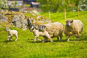 Wensleydale sheep and lambs running for food, UK  -  Jason Smalley