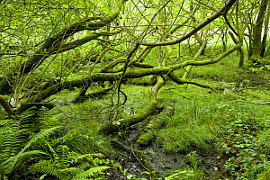 Oak trees growing in a bog, White Moss, Cumbria, UK  -  Jason Smalley