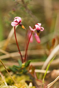 European Cranberry {Vaccinium oxycoccos} flowers, Heysham Moss Reserve, Lancashire, UK  -  Jason Smalley