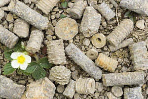 Fossil remains of Crinoids / Featherstars at Salthill Quarry nature reserve, Lancashire, UK - Jason Smalley