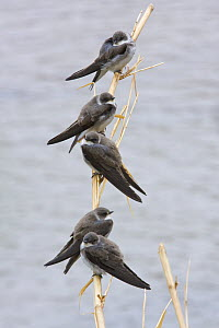 Sand martins (Riparia riparia) perched on reed over water during spring migration, Central Morocco, NW Africa  -  Bruno D'Amicis