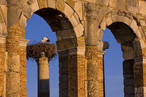 White stork (Ciconia ciconia) nest on ruins of the ancient Roman city of Volubilis, near F�s, Northern Morocco, NW Africa - Bruno D'Amicis