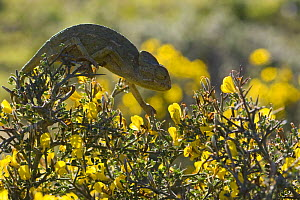 Common European Chameleon (Chamaeleo chamaeleon) on thorny shrub (Genista sp) Northern Morocco, NW Africa  -  Bruno D'Amicis