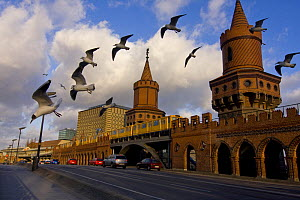 Black-headed gulls (Larus melanocephalus) flying above the Oberbaumbr�cke in Berlin. The bridge connects the formerly divided East and West Berlin and represents a symbol of the German history. Berlin...  -  Bruno D'Amicis