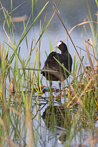 Red-knobbed coot (Fulica cristata) adult among reeds, Northern Morocco, NW Africa - Bruno D'Amicis