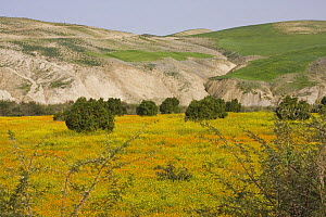 Hilly landscape with orange orchard and spring flowers, Northern Morocco, NW Africa  -  Bruno D'Amicis