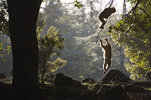 Young Barbary Macaques (Macaca sylvanus) playing among Cedar (Cedrus atlantica) trees, backlit, Endangered species. Atlas mountains, Morocco, NW Africa - Bruno D'Amicis