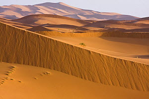 High dunes in the Sahara desert, Erg Chebbi, Southern Morocco, NW Africa  -  Bruno D'Amicis