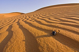 Beetle (Tenebrio sp) walking on sand dune in the Sahara desert, Erg Chebbi, Southern Morocco, NW Africa - Bruno D'Amicis