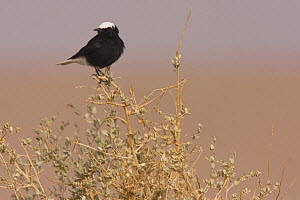 White-crowned wheatear (Oenanthe leucopyga) perched on shrub, Sahara desert, Morocco, NW Africa  -  Bruno D'Amicis