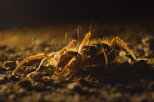 Wind scorpion / Camel spider (Galeodibus sp?) backlit, Sahara desert, Morocco, NW Africa  -  Bruno D'Amicis