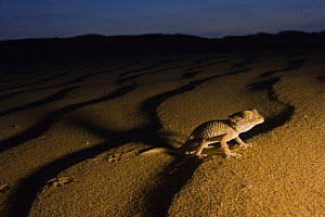 Helmethead gecko (Gekonia chazalie) walking on dunes at night. Endemic of the Atlantic Sahara. Southern Morocco, NW Africa - Bruno D'Amicis