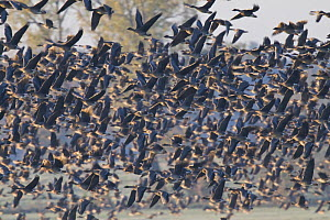 Large mixed flock of Bean geese (Anser fabalis) and Lesser-fronted geese (Anser albifrons) taking off, NE Germany - Bruno D'Amicis