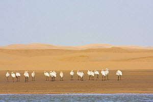 White Spoonbills (Platalea leucorodia) beside Khniffis lagoon, Western Sahara, Southern Morocco, NW Africa  -  Bruno D'Amicis