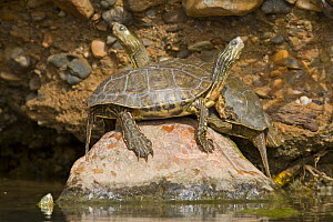 Mediterranean Pond Turtles / Spanish terrapins (Mauremys leprosa) basking on rock, Southern Morocco, NW Africa - Bruno D'Amicis