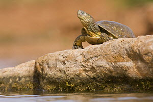 Mediterranean Pond Turtle / Spanish terrapin (Mauremys leprosa) basking on rock, Southern Morocco, NW Africa - Bruno D'Amicis