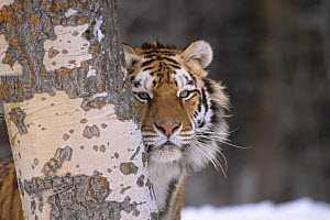 Siberian tiger {Panthera tigris altaica} looking out from behind tree trunk, Captive, USA - Lynn M Stone