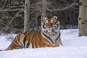 Siberian tiger {Panthera tigris altaica} in snow, Captive, USA - Lynn M Stone