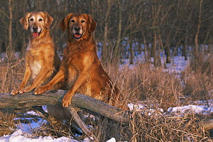 Two Golden labrador retrievers, standing on hind legs, looking in woodland,  Illinois, USA  -  Lynn M Stone