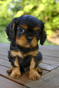 Cavalier King Charles Spaniel, puppy, black-and-tan, 6 weeks  -  Petra Wegner