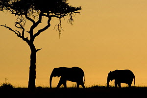 Two African Elephants {Loxodonta africana} silhouetted beside Acacia tree, Samburu NP, Kenya.  -  Mary McDonald