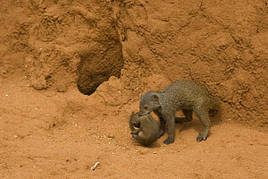 Dwarf Mongoose {Helogale parvula} mother carrying young near den in termite mound, Masai Mara GR, Kenya.  -  Mary McDonald